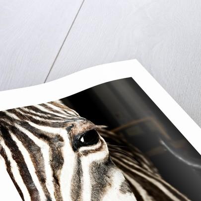 Plains Zebra Mount by Sara Porter