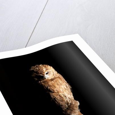 Owl Mount by Sara Porter