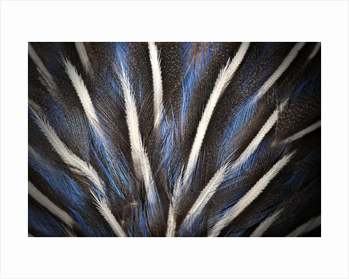 Vulturine Guineafowl Mount by Sara Porter