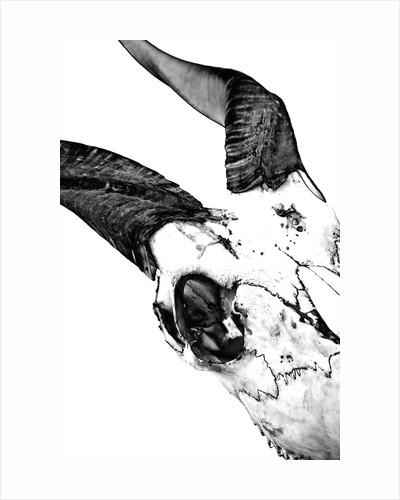 Sitatunga Skull by Sara Porter