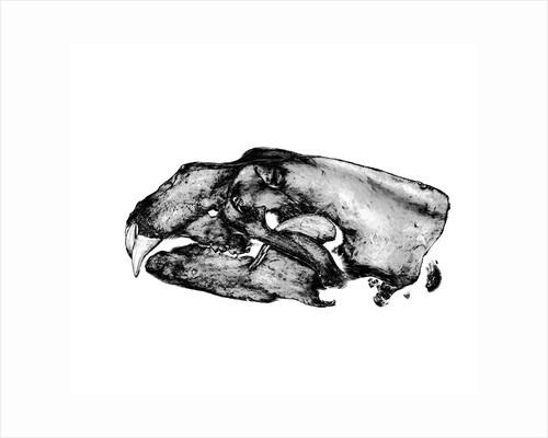Polar Bear Skull by Sara Porter