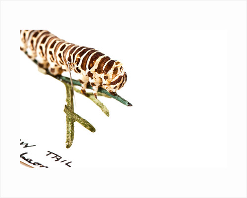 Swallowtail Caterpillar by Sara Porter