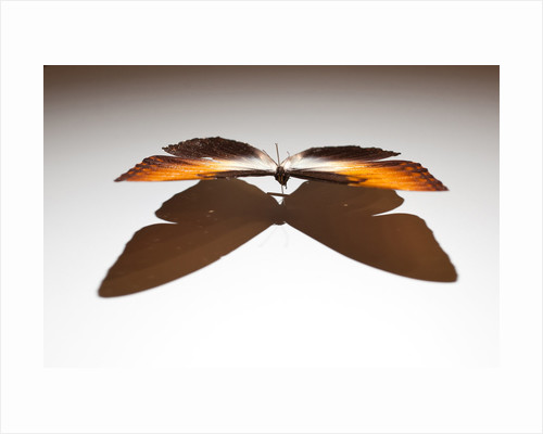 Pinned Butterfly by Sara Porter