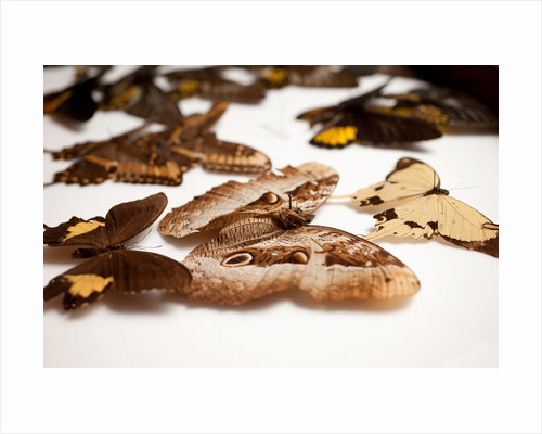 Pinned Butterflies by Sara Porter
