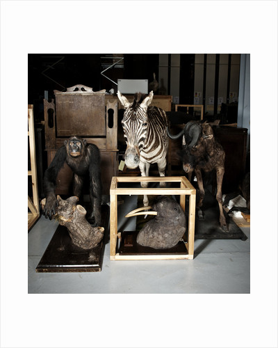 Plains Zebra, Walrus, And Gnu Mounts by Sara Porter