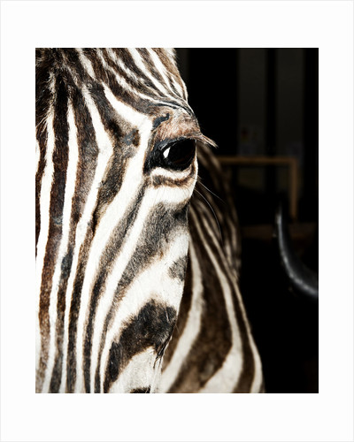 Plains Zebra Mount by Sara Porter