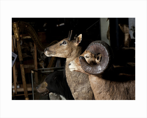 Bighorn Sheep Mounts by Sara Porter
