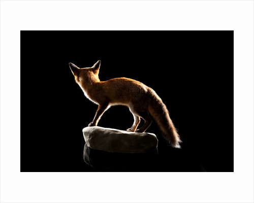 Red Fox Mount by Sara Porter