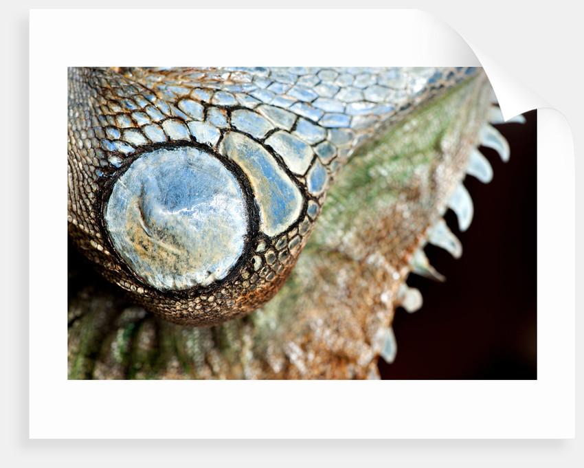 Green Iguana Mount by Sara Porter
