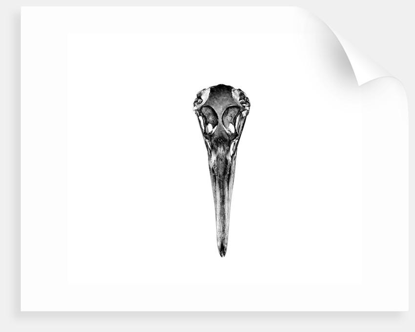 Albatross Skull by Sara Porter