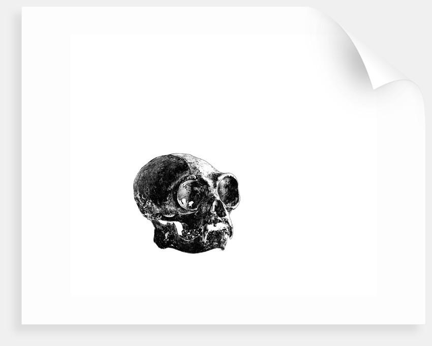 Gibbon Skull by Sara Porter