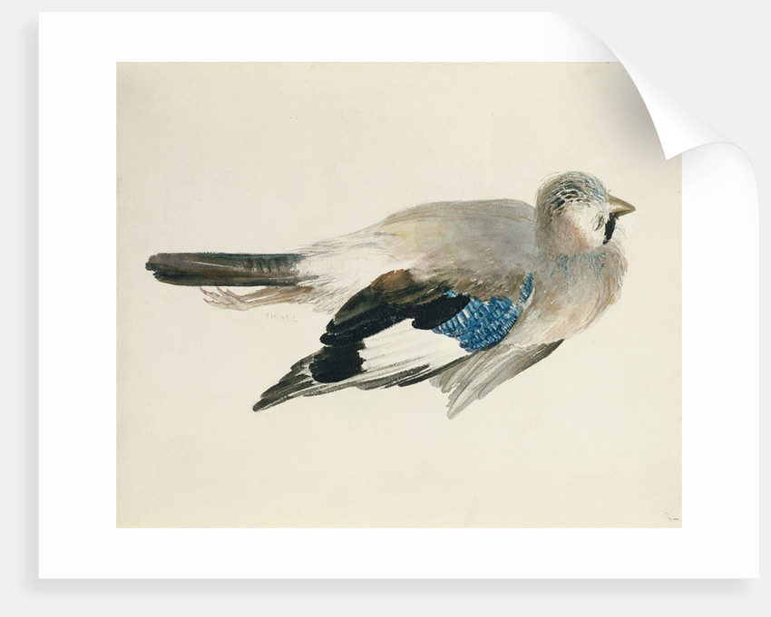 Jay, from The Farnley Book of Birds, c.1816 by Joseph Mallord William Turner