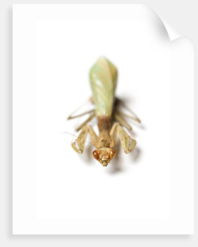 Praying Mantis by Sara Porter