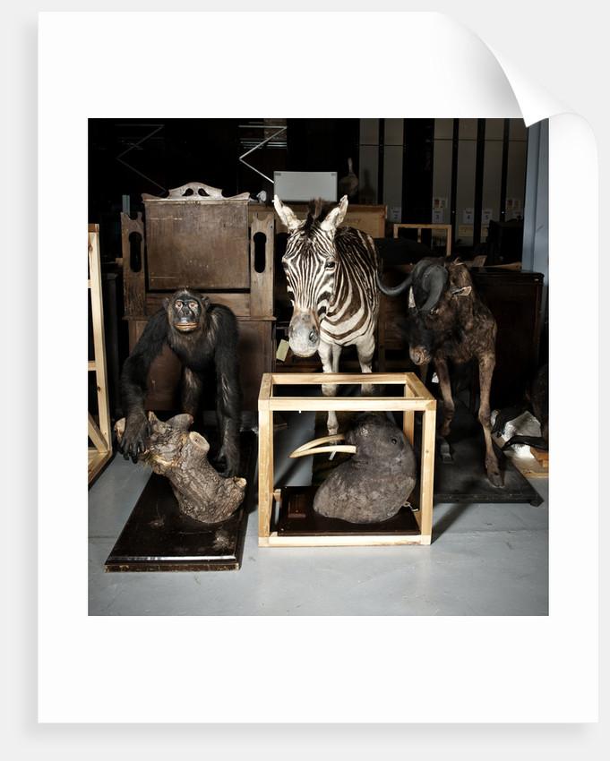 Plains Zebra, Walrus, And Gnu Mounts by Sara Porter