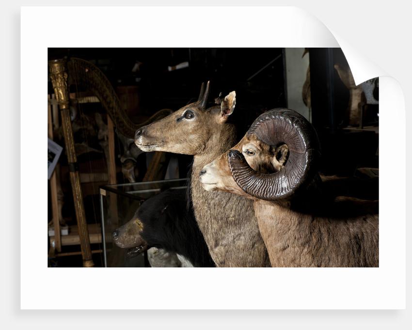 Bighorn Sheep Mounts by Sara Porter