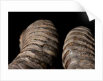 Blackbuck Horns, Tbc by Sara Porter