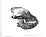 Strpied Hyaena Skull by Sara Porter