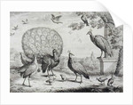 Group of Birds with Peacock by Francis Place