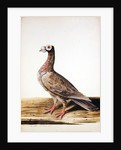 A Woodgrouse, Hen, 1741 by Charles Collins