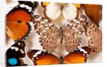 Pinned Butterflies by Sara Porter