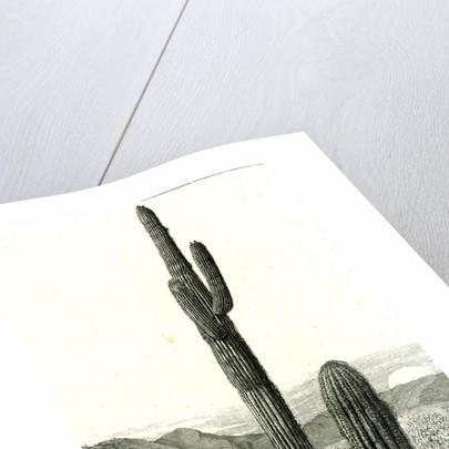 Giant Cactus Arizona 1891 USA by Anonymous