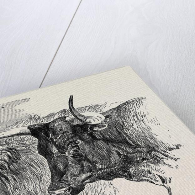 Smithfield Club Prize Cattle Show: Scotch, Class 13 by Anonymous
