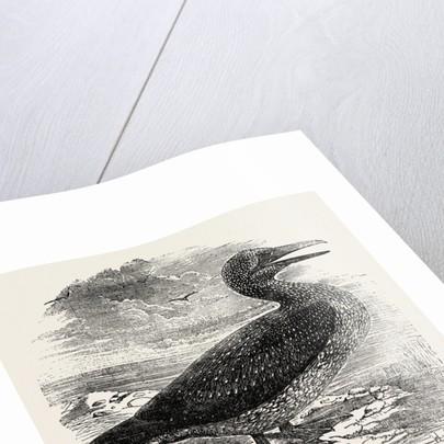 Solan Gannet Shot Near Boston UK 1854 by Anonymous