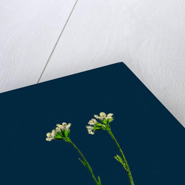 Saxifraga Caespitosa; Tufted Saxifrage by Anonymous
