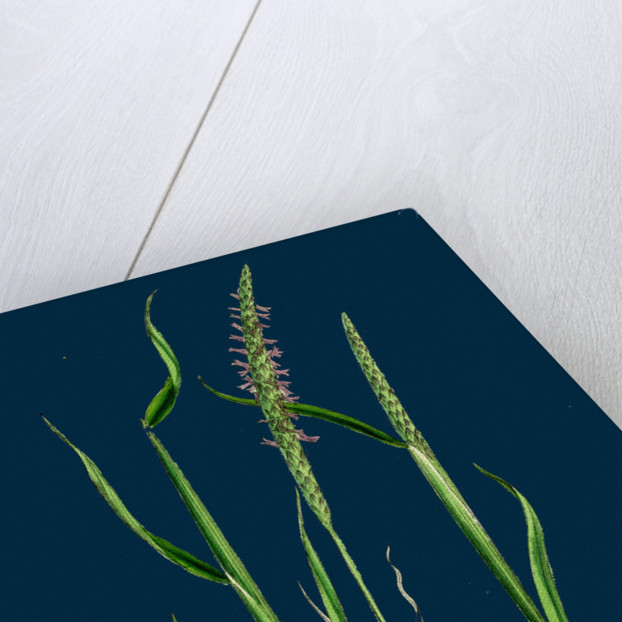 Alopecurus Agrestis; Slender Fox-Tail-Grass by Anonymous
