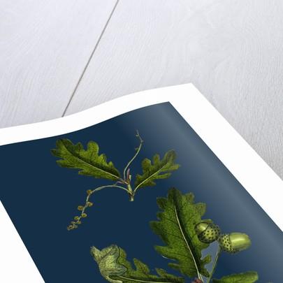 Quercus Pedunculata; Common Oak by Anonymous