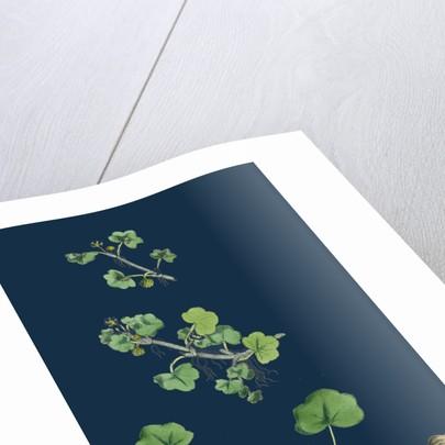 Ranunculus Hederaceus; Ivy-Leaved Water-Crowfoot by Anonymous