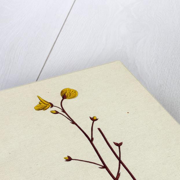 Utricularia Neglecta Lehman's Bladderwort by Anonymous