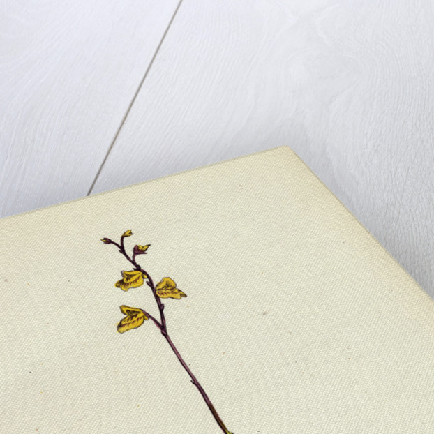 Utricularia Minor Lesser Bladderwort by Anonymous