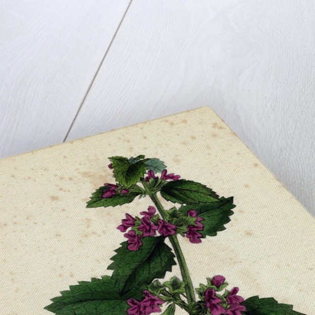 Ballota Nigra Var. Foetida Black Horehound Var. A. by Anonymous