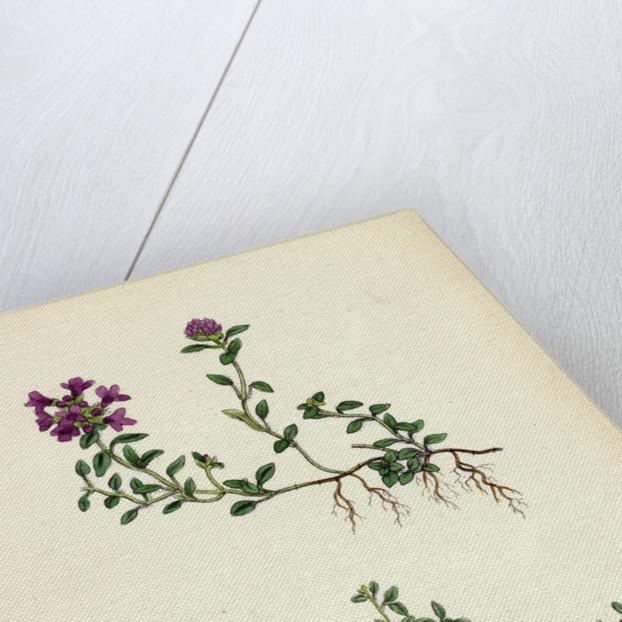 Thymus Eu-Serpyllum Creeping Wild Thyme by Anonymous