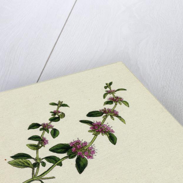 Mentha Pulegium Var. Decumbens Penny-Royal by Anonymous