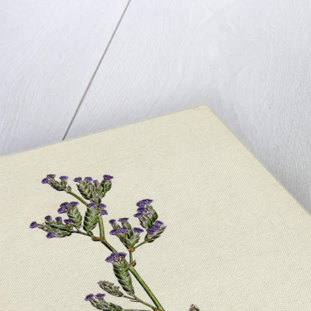 Statice Binervosa Var. Dodartii Lesser Sea-Lavender Var. B. by Anonymous