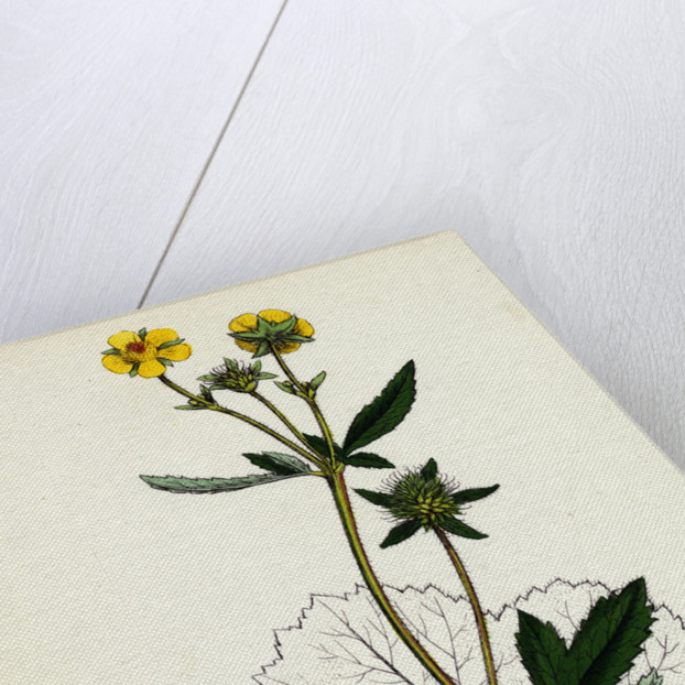 Geum Urbanum Wood Avens by Anonymous