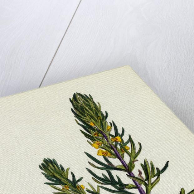 Ajuga Chamaepitys Ground Pine by Anonymous