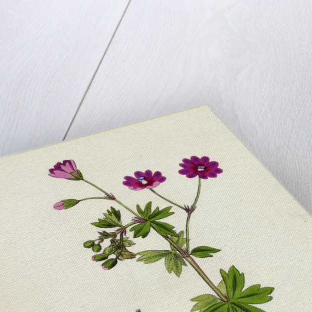 Geranium Pyrenaicum Mountain Crane's-Bill by Anonymous