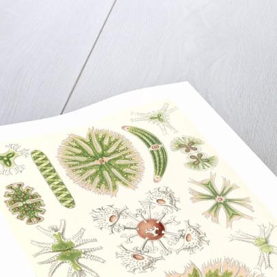 Algae. Desmidiea by Ernst Haeckel