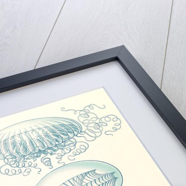 Jellyfishes. Leptomedusae by Ernst Haeckel