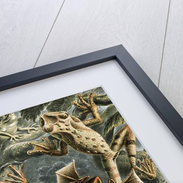 Frogs. Batrachia by Ernst Haeckel