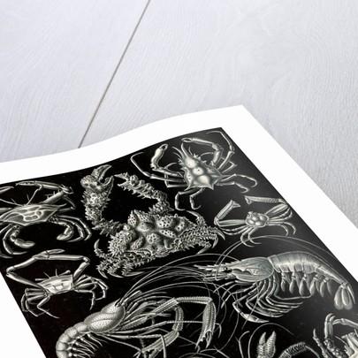 Crabs. Decapoda by Ernst Haeckel