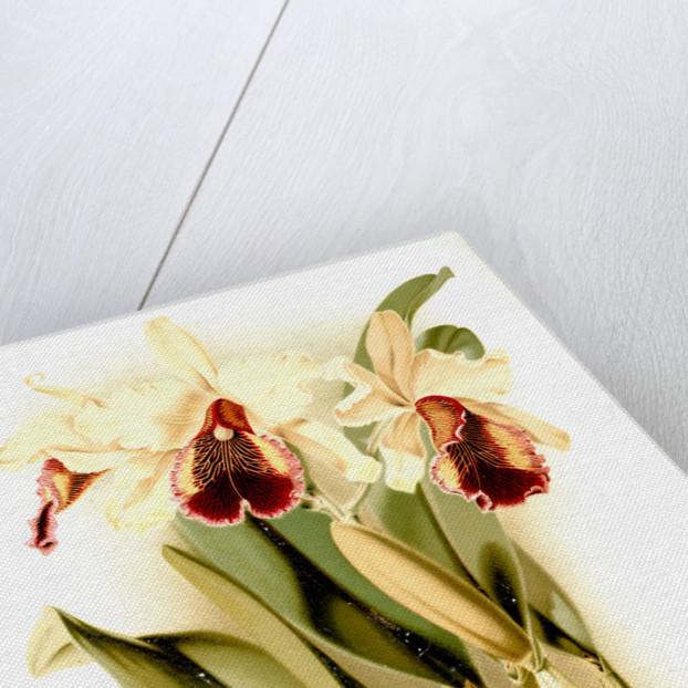 Cattleya dowiana aurea by F. Sander