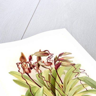 Cypripedium sanderianum by F. Sander