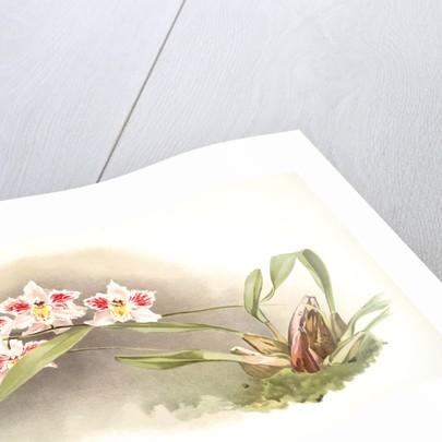 Odontoglossum crispum Kinlesideanum by F. Sander