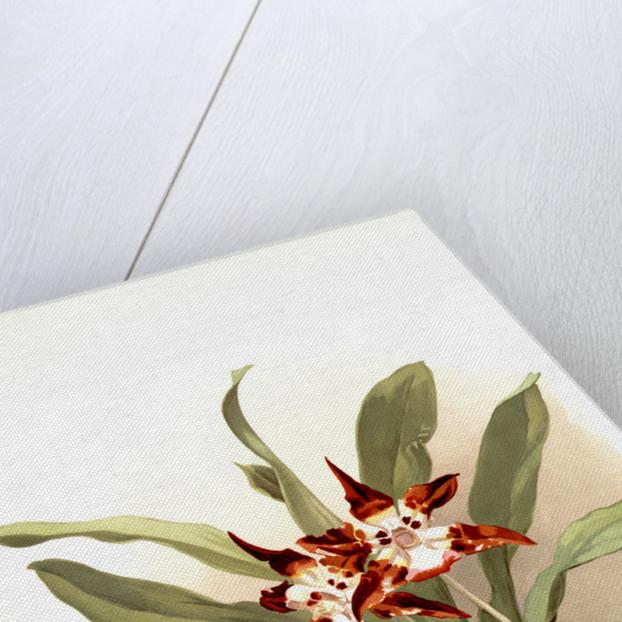 Zygopetalum burtii by F. Sander