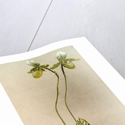 Cypripedium lawrenceanum hyeanum by F. Sander