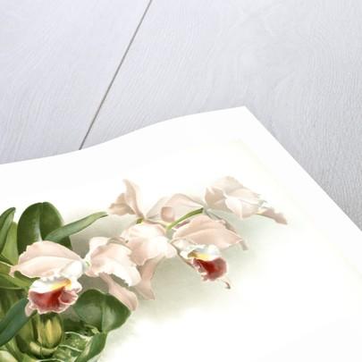 Cattleya labiata gaskelliana by F. Sander